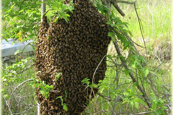 La leggenda dell 39 ape e del suo pungiglione - Diversi tipi di api ...